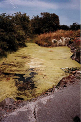 Mrs Gibson's pond before treating with Aquaplancton