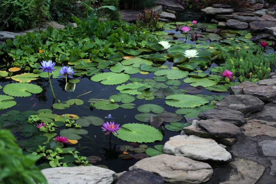 Your pond in summer aquaplancton 01298 214003 for Koi pond shade ideas