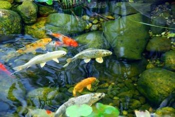 Acidity alkalinity and ph levels in ponds aquaplancton for Koi fish living conditions