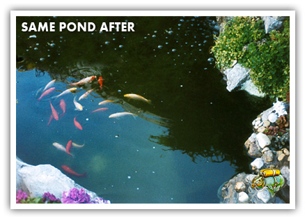 Green pond water control aquaplancton 01298 214003 for Green water in pond